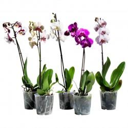Орхидея фаленопсис D12H65